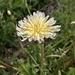 Taraxacum albidum - Photo (c) Norio Nomura, some rights reserved (CC BY-SA)
