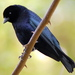 Shiny Cowbird - Photo (c) http://www.flickr.com/photos/dariosanches/, some rights reserved (CC BY-SA)