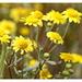 Lasthenia ferrisiae - Photo (c) Alison Sheehey, algunos derechos reservados (CC BY-NC-ND), uploaded by Nature Ali
