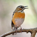 Bearded Scrub-Robin - Photo (c) Ian White, some rights reserved (CC BY-ND)