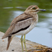 Water Thick-Knee - Photo (c) Bernard DUPONT, some rights reserved (CC BY-NC-SA)