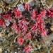 Miniacina miniacea - Photo Etrusko25, ei tunnettuja tekijänoikeusrajoituksia (Tekijänoikeudeton)