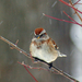 American Tree Sparrow - Photo (c) Jen Goellnitz, some rights reserved (CC BY-NC-ND)
