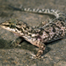 Antillean House Gecko - Photo (c) Roberto Sindaco, some rights reserved (CC BY-NC-SA)