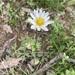 Anemone caroliniana - Photo (c) sgraue, algunos derechos reservados (CC BY-NC)