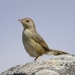 Cisticola aberrans - Photo (c) Ian White, alguns direitos reservados (CC BY-NC-SA)