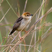 Stout Cisticola - Photo (c) Carol Foil, some rights reserved (CC BY-NC-ND)