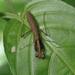 Bantiella trinitatis - Photo (c) lenoreatwood, algunos derechos reservados (CC BY-NC)