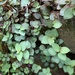 Trepadora Tortuga - Photo (c) errol-d, algunos derechos reservados (CC BY-NC)
