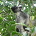Canguru-Arborícola-de-Lumholtz - Photo (c) depeoples, alguns direitos reservados (CC BY-NC)