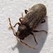 Carcoma o Polilla - Photo (c) Mick Talbot, algunos derechos reservados (CC BY)