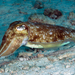 Pharaoh Cuttlefish - Photo (c) terence zahner, some rights reserved (CC BY-NC)