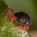 Trombidiformes - Photo (c) mrmacro,  זכויות יוצרים חלקיות (CC BY-NC)