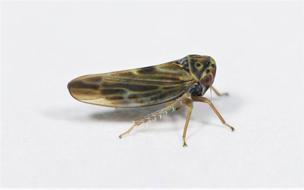 Agalliopsis novella; (с) Rob Van Epps, некоторые права защищены (CC BY-NC)