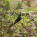 Purple Indigobird - Photo (c) Peter Steward, some rights reserved (CC BY-NC)