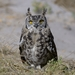 Spotted Eagle-Owl - Photo (c) Ian White, some rights reserved (CC BY-NC-SA)