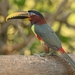 Chestnut-eared Aracari - Photo (c) Carlos Sanchez, some rights reserved (CC BY-NC)