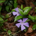 Lesser Periwinkle - Photo (c) Alexis, some rights reserved (CC BY)