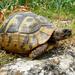 Tortuga Mediterranea - Photo (c) Roberto Sindaco, algunos derechos reservados (CC BY-NC-SA)