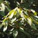 Neolitsea sericea aurata - Photo (c) 葉子, algunos derechos reservados (CC BY-NC-ND)