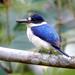 Todiramphus - Photo (c) David Cook, algunos derechos reservados (CC BY-NC)