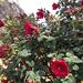 Sietecueros Rojo - Photo (c) samadrin, algunos derechos reservados (CC BY-NC), uploaded by samadrin
