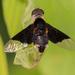 Hemipenthes celeris - Photo (c) Lee Hoy,  זכויות יוצרים חלקיות (CC BY-NC-ND)