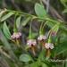 Vaccinium japonicum lasiostemon - Photo (c) Lijin Huang (紫楝),  זכויות יוצרים חלקיות (CC BY-NC)