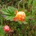 Cloudberry - Photo (c) vladimir_korotkov, some rights reserved (CC BY-NC)