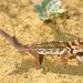 Gecko Maravilla Común - Photo (c) Roberto Sindaco, algunos derechos reservados (CC BY-NC-SA)