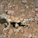 Phrynocephalus helioscopus - Photo (c) Roberto Sindaco, algunos derechos reservados (CC BY-NC-SA)