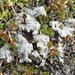 Trapeliopsis granulosa - Photo (c) Andrew Simon, algunos derechos reservados (CC BY-NC)
