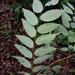 Phyllanthus skutchii - Photo (c) Leonardo Álvarez-Alcázar, algunos derechos reservados (CC BY-NC)