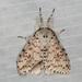 Lymantria nephrographa - Photo (c) dhfischer, algunos derechos reservados (CC BY-NC)