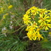Senecio linearifolius - Photo (c) ctracey, μερικά δικαιώματα διατηρούνται (CC BY-NC-SA), uploaded by Christopher Tracey