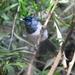 Trochocercus cyanomelas megalolophus - Photo (c) cefox,  זכויות יוצרים חלקיות (CC BY-NC)