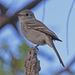 Gray Flycatcher - Photo (c) Jerry Oldenettel, some rights reserved (CC BY-NC-SA)