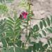 Tephrosia purpurea leptostachya - Photo (c) Riana Fourie, some rights reserved (CC BY-NC)