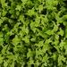 Persicaria biconvexa - Photo (c) Chen Shu, algunos derechos reservados (CC BY-NC)