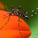Asian Tiger Mosquito - Photo (c) Thomas Shahan, some rights reserved (CC BY-NC)