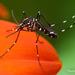 Mosquito Tigre Asiático - Photo (c) Thomas Shahan, algunos derechos reservados (CC BY-NC)