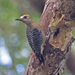 Hoffmann's Woodpecker - Photo (c) Jerry Oldenettel, some rights reserved (CC BY-NC-SA)