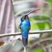 Phaethornis guy - Photo (c) Jerry Oldenettel, μερικά δικαιώματα διατηρούνται (CC BY-NC-SA)