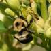 Two-spotted Bumble Bee - Photo (c) Suzanne Cadwell, some rights reserved (CC BY-NC)