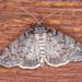 Smyriodes trigramma - Photo (c) David Akers, alguns direitos reservados (CC BY-NC)