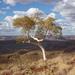 Eucalyptus leucophloia leucophloia - Photo (c) Dean Nicolle, μερικά δικαιώματα διατηρούνται (CC BY-NC)