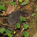 Suncus murinus - Photo (c) Hoi Ling Cheng,  זכויות יוצרים חלקיות (CC BY-NC)