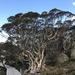 Eucalyptus pauciflora niphophila - Photo (c) Dean Nicolle, osa oikeuksista pidätetään (CC BY-NC)