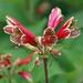 Flor de Papagayo - Photo (c) Eric Hunt, algunos derechos reservados (CC BY-NC-ND)