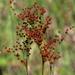Juncus marginatus - Photo (c) Lauren, algunos derechos reservados (CC BY)